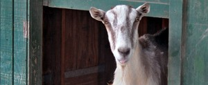 Goats (7)
