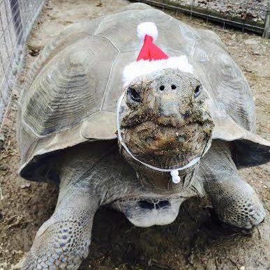 christmas-gertie